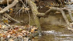 Pair of tiny golden crowned kinglet birds bathing in pure water stream in fall