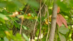 Woodpecker with red head viewed through leaves moving by the wind