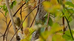 Ruby crowned kinglet jumping into focus in natural wild pristine setup