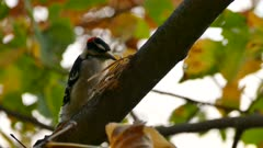 Woodpecker investigating broken tree branch on blurry fall leafy background