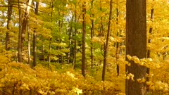 Dense lush forest in the fall in Canada with light wind blowing leaves off