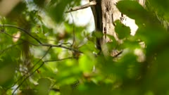 Woodpecker hiding behind leaves suddenly appears on sunny branch