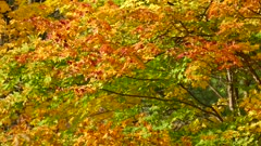 Beautiful orange, yellow and green leaves changing colors one after the other
