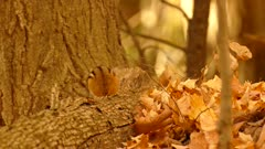 Autumn scene with chipmunk with missing tail standing on tree log
