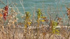 Golden crowned kinglet hopping fast in brush in fall with ocean waves behind