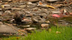 Young grackle on river side stepping feet in water and drinking small sip