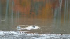 Bird bathing and cleaning itself in calm lake waters with fall color reflection
