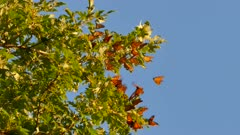Early sun light shining on dozens of monarch butterflies perched in group