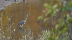 Heron slowly advancing in water to cross river during an autumn day