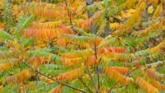 Mixed array of fall colors within the same leaf tree in Canada