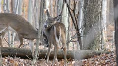 Two lovely deers grooming each other quietly in forest in late fall