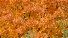 Bright orange tree in autumn on windy day filling entire frame