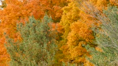 Green pine and orange tree share same area in autumn forest
