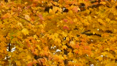 Light wind blowing on fall colored leaves during the day in Canada