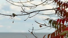 Golden crowned kinglet perched with blurry ocean background skyline