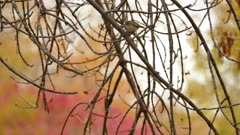 Golden crowned kinglet hopping on blurry autumn color background