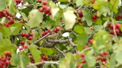 Double shots of fall plumage golfinch living in pretty tree with red berries