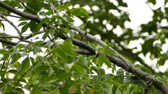 Vireo bird moving and smashing green caterpillar on a branch