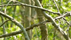 Various shots of flycatcher birds in Canadian deciduous forest in sun