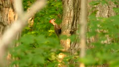 Pileated woodpecker with mouth opened perched on tree side in rich sunlight