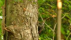 Pileated woodpecker taking off from the side of a large tree trunk in forest