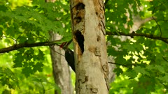 Large pileated woodpecker investigating hole in tree in deciduous forest