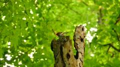 Head of pileated woodpecker peeking out of top of dead tree log