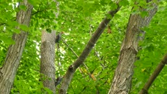 Three pileated woodpeckers hopping up on a mature tree in dense forest