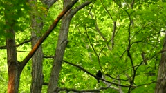 Pair of big woodpeckers in a tree in sunny deciduous Canadian forest