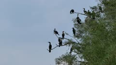 Dozen of cormorants perched in dead tree during the evening
