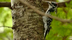 Closeup and multiple shots of hairy woodpecker pecking lightly up a tree