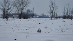 Snowy Owl (Bubo Scandiacus) grooming in a field with snow