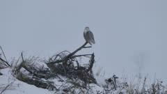 Snowy Owl (Bubo Scandiacus) perched and looking around with snow falling
