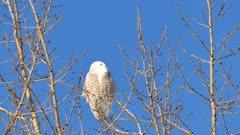 Snowy Owl (Bubo Scandiacus) facing camera and closing its eyes