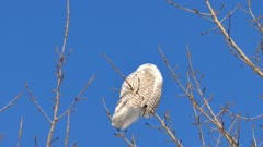 Snowy Owl (Bubo Scandiacus) viewed from underneath with blue sky