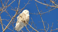 Snowy Owl (Bubo Scandiacus) looking down to the ground in the wind