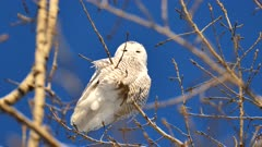 Snowy Owl (Bubo Scandiacus) perched and looking towards camera
