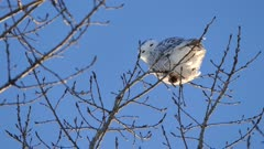 Snowy Owl (Bubo Scandiacus) perched in a tree with blue sky background