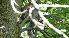 Two squirrels fighting playfully in a tree with green leaves in summer