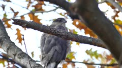 Cooper's hawk (Accipiter cooperii) closeup while perched on a branch