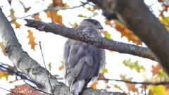 Cooper's hawk (Accipiter cooperii) turning its head at 180 degree angle