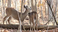 Two red deer grooming each other and licking necks in the forest in autumn