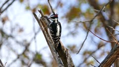 Downy Woodpecker (Picoides pubescens) pecking on branch and catching a larva