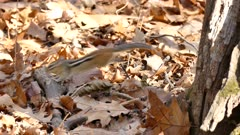 Chipmunk jumping in dead autumn leaves and fleeing away