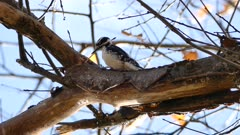 Downy Woodpecker (Picoides pubescens) breaking wood chips that fall into camera