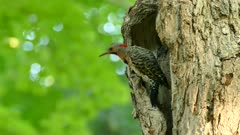 Northern Flicker hesitates to leave large tree opening in green forest
