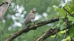 Back view of Northern Flicker while perched on green natural background
