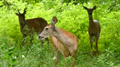 Trio of deer facing camera and moving in slowly while eating grass in the wind