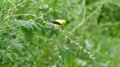 Yellow bird perched on weak fresh branch bending under its weight