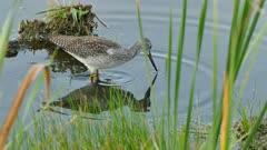 Crisp shot of Greater Yellowlegs bird walking between grass and log
